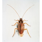 German Cockroach - Bayer Pest Control